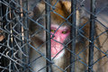 Singe triste se reposant en prison Photo stock