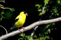 Singing American Goldfinch Stock Photography