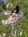 Singing Bird in Blossoms Stock Image