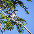 Singing blue jay bird sitting on a tree branch and Royalty Free Stock Images