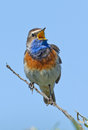 Singing bluethroat on a branch Stock Photo