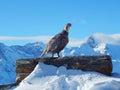 A singing Caucasian snowcock