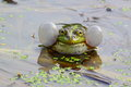 Singing frogs Royalty Free Stock Photo