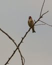 Singing goldfinch a carduelis carduelis defends it s territory loudly on a protruding branch Royalty Free Stock Images