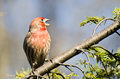 Singing Male House Finch Perched on a Branch Royalty Free Stock Photos