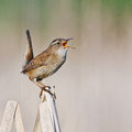 Singing marsh wren on a dried cattail reed with tail in the air Royalty Free Stock Photos