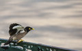 Singing mynah get set to fly Royalty Free Stock Images