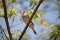 Singing nightingale Royalty Free Stock Photo
