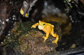 Singing panamanian golden frog a sits on a rock and has his throat pouch inflated Royalty Free Stock Photo