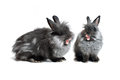 Singing rabbits in front of white background Stock Images