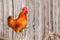 Singing red rooster on a fence Royalty Free Stock Photo