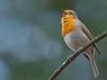 Singing Robin Stock Photo