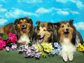 Singing Shelties Stock Photo