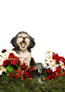 Singing shih tzu puppy Royalty Free Stock Images