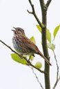 Singing song sparrow Royalty Free Stock Images
