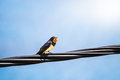 Singing swallow on a telephone line Royalty Free Stock Photo