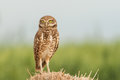 Single adult burrowing owl standing erect on mound of straw Stock Photos
