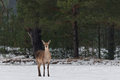 Beautiful Adult Deer With Big Horns And Careful Look In Thicket Of  Pine Winter Forest. European Wildlife Landscape With Snow And