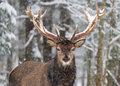 Single adult noble deer with big beautiful horns on snowy field,Looking at you. European wildlife landscape with snow and deer wit