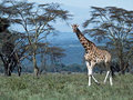 Single african giraffe Royalty Free Stock Photo
