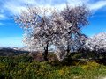 Single almond tree blossom in pink flowers in spring in Spain Royalty Free Stock Photo