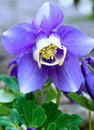 Single Aquilegia Flower Stock Photography