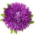 Single aster Royalty Free Stock Photos