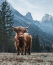 Highland Cattle in front of huge Peaks Royalty Free Stock Photo