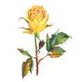 A single of beautiful golden yellow rose with green leaves.