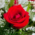 Single Beautiful Red Rose Rosaceae Rosoideae Rosa Arranged with White Baby`s Breath Royalty Free Stock Photo