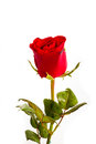 Single beautiful red rose isolated on white Royalty Free Stock Photo