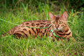 A Single Bengal Cat In Natural...