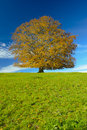 Single big beech tree in autumn Stock Image