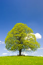 Single big linden tree at spring Royalty Free Stock Photo
