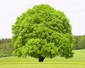Single big old beech tree Royalty Free Stock Photo