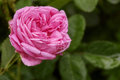 Single big pink rose in garden, top view Royalty Free Stock Photo