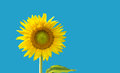 single big yellow sunflower with clipping path Royalty Free Stock Photo