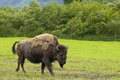 Single bison alaskan portrait on green grass Royalty Free Stock Photography
