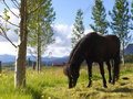 Single black horse on a farm Stock Images