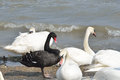 Single black swan amongst white swans Royalty Free Stock Photography