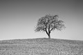 Single black and white tree on countryside hill Royalty Free Stock Image