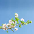 Single blooming branch of apple tree against spring blue sky Royalty Free Stock Photo