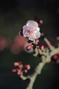 Single blossom pink and burgandy close up of a in spring Royalty Free Stock Photography