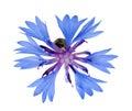 Single blue chicory flower isolated on white Royalty Free Stock Photo