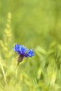 Single blue cornflower in a meadow in springtime Royalty Free Stock Photo