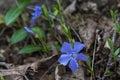 Single blue flower close up Royalty Free Stock Photo