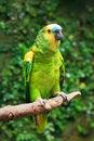 Single Blue-Fronted Amazon Parrot (Amazona aestiva) Royalty Free Stock Photo