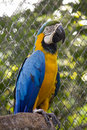 Single blue and gold macaw parrot Royalty Free Stock Image