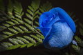 Single Blue Rose Royalty Free Stock Photo