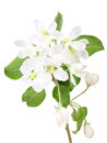 Single branch of apple-tree with leaf and flowers Royalty Free Stock Photos